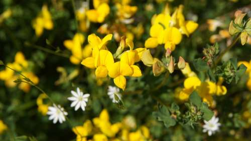 Lotus Corniculatus Wildflowers Flower Yellow