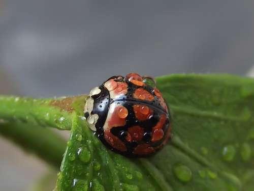 Lunate Ladybird Cheilomenes Lunata Ladybird Ladybug
