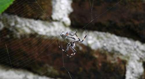 Macro Insect Arachnid Spider Sting Guatica