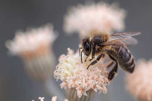Macro Bee Insects Nature Fauna Detail
