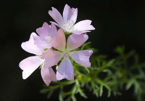 Mallow Flower Pink Blossom Bloom Plant Nature