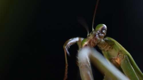 Mantis Bug Summer Insect Natural Observation