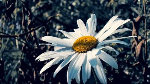 Margarite Bloom White Nature Summer Floral Flora
