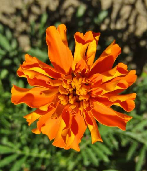 Marigold Orange Blossom Bloom Flower Nature