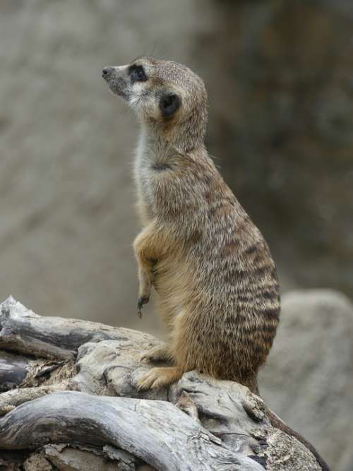 Meerkat Wildlife Africa Animal Animal World Mammal