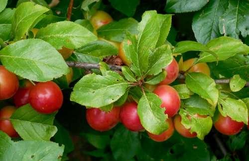 Mirabelka Prunus Syriaca Tree Fruit Sweet Summer