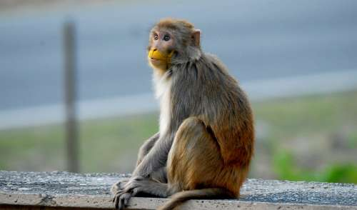 Monkey Macaque Animal Primates