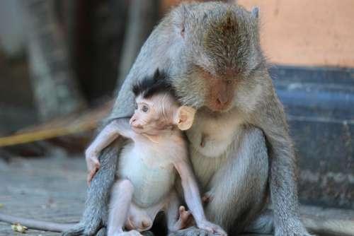 Monkey Monkeys Animals Nature Primate Thailand
