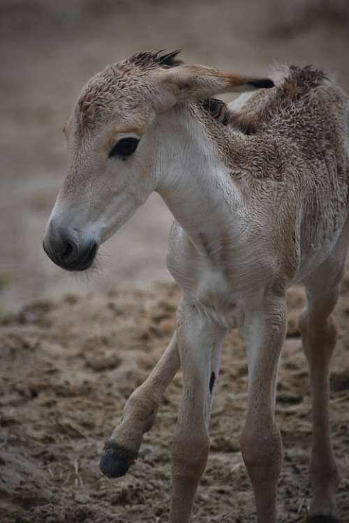 Mule Foal Zoo Emmen Newborn Sweet Cute Charming