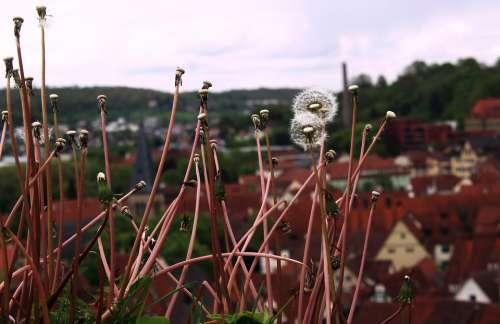 Nature Travel Flowers Summer Dandelion Beauty