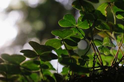 Nature Clover Bokeh Shamrock Green Luck