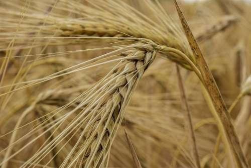 Nature Cornfield Cereals Grain Summer Agriculture
