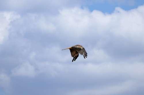 Nature Bird Raptor Milan Flight Plumage Sky