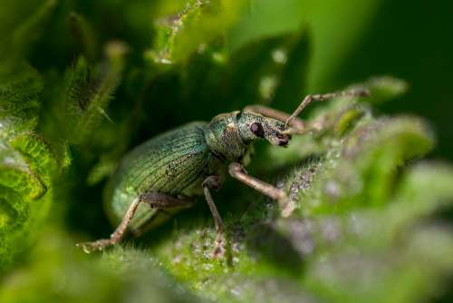Nettle Weevil Beetle Green Insect Insects Nature