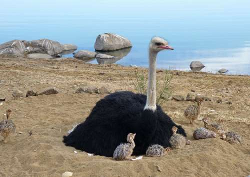 Ostriches Bouquet Strauss Bird Flightless Bird