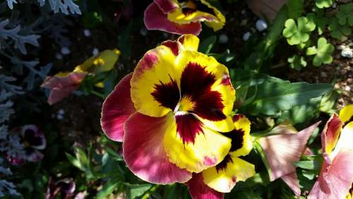 Pansy Nature Flower Plant Garden Flowers Yellow