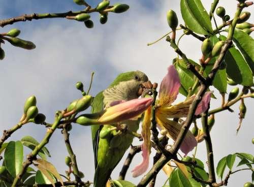 Parrot Parrot Eating Flower Baobab Baobab Flower