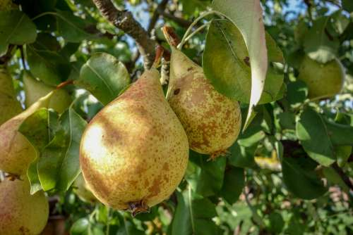 Pears Fruit Pear Healthy Food Health Fresh Bio