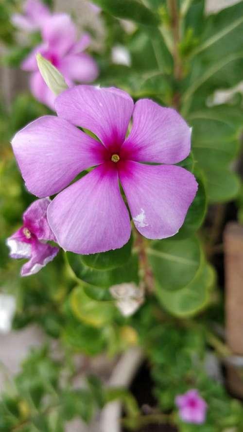 Periwinkle Pink Flower
