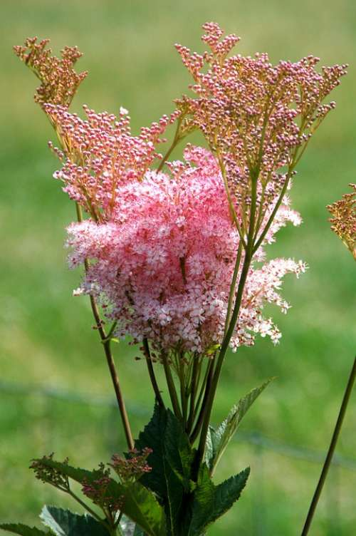 Pink Plant Bloom Summer Nature Garden Butterfly