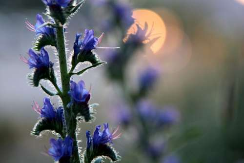 Plant Wild Flower Meadow Evening Sun Blossom Bloom
