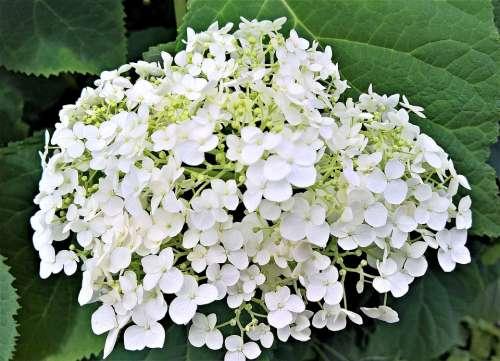 Plant Hydrangea Ornamental Shrub Summer Garden
