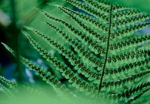Plant Fern Tree Fern Spores Sori Sorus Green