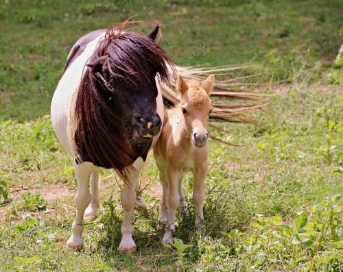 Ponies A Pair Of Mother Foal Female Cub Animals