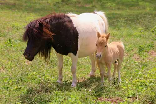 Ponies Mother Cub Foal Farm Together Mare Female