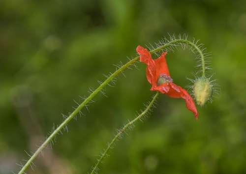 Poppies Flowers Poppy Nature Klatschmohn Plant