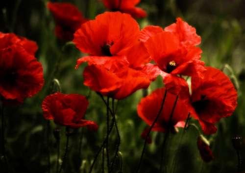 Poppy Poppies Klatschmohn Flowers Blossom Bloom