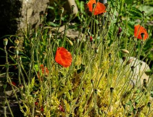 Poppy Red Nature Klatschmohn Garden Plant