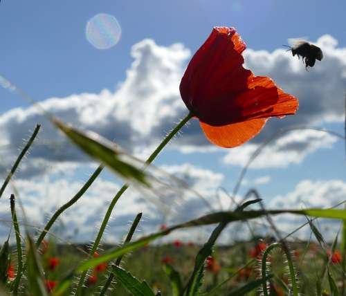 Poppy Bee Red Blossom Bloom Summer Insect Nectar