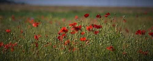 Poppy Klatschmohn Red Poppy Flower Nature Summer