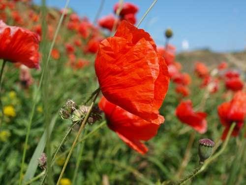 Poppy Red Flower Flowering Plant Field Closeup