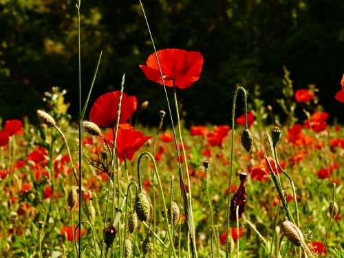 Poppy Divý Flower Red Meadows Field Flora Green