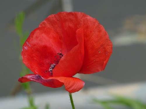 Poppy Red Flower Plant Wild Plant