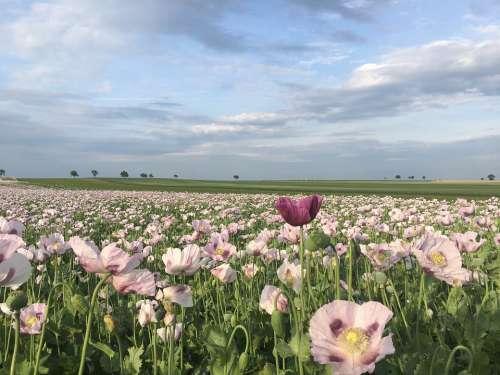 Poppy Spring Flower Nature Field Landscape