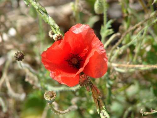 Poppy Flower Plant Natural Flora Flora Red Flower