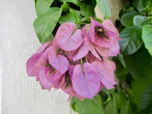 Purple Entwine Flower Plant Blossom Bloom Garden