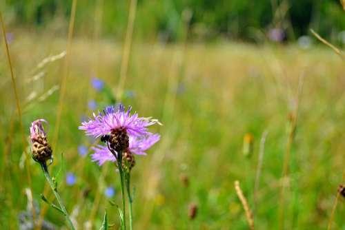 Purple Flower Bug Summer July Field Blossom