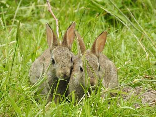 Rabbit Nature Mammals Portrait Wild