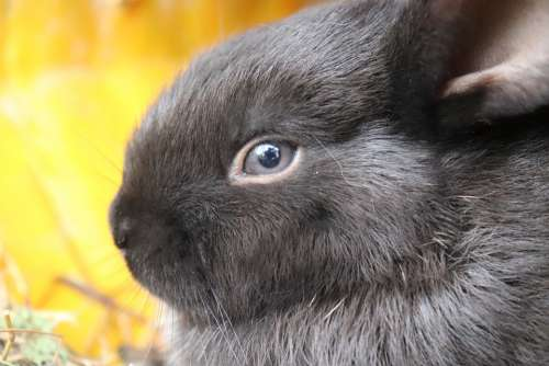 Rabbit Black Rabbit Nature Animal Black Cute