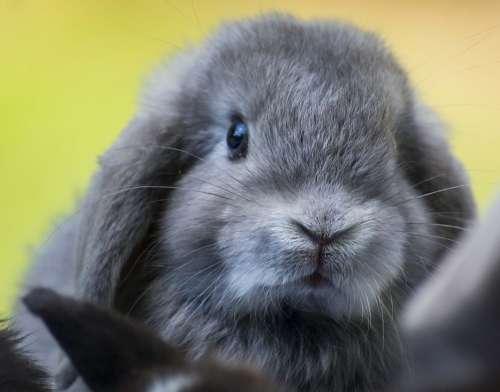 Rabbit Black Bunny Easter