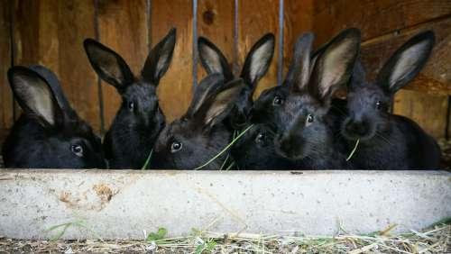 Rabbit Animals Farm Easter Rabbit Ears