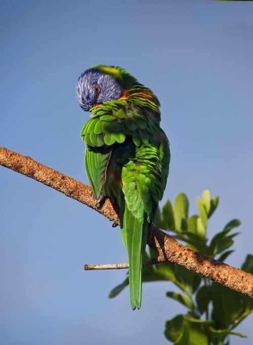 Rainbow Lorikeet Parrot Preening Colourful Bird