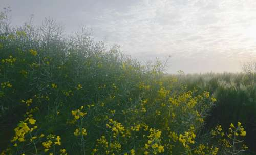 Rape Barley Dawn Dew Oilseed Rape Sunshine Yellow