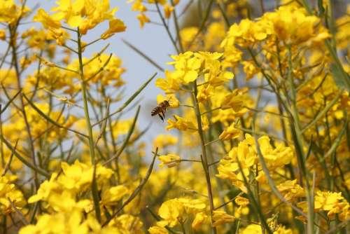 Rape Blossoms Honeybee Natural