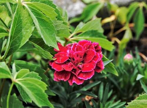 Red Plant Garden Balcony Nature Summer Bloom
