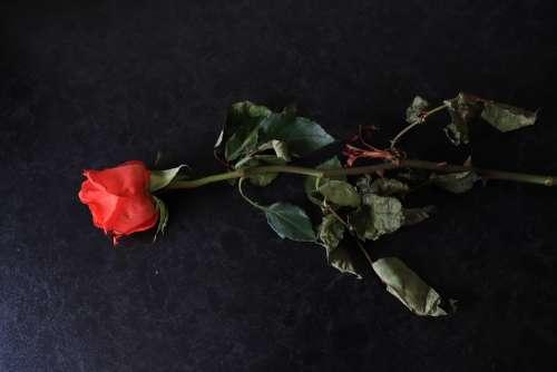 Red Rose Floral Romantic Flower Romance Color